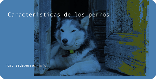 características de los perros Husky