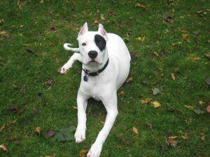 dogo-perro blanco